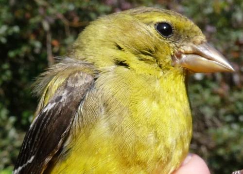 american goldfinch winter female
