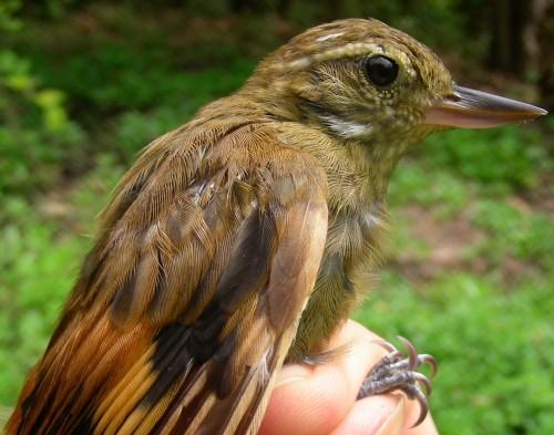 Xenops Bird