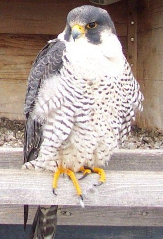 Migration Research Foundation Research Peregrine Falcon Species Profile